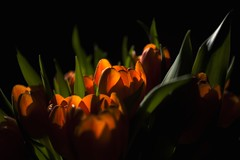 see through (mamuangsuk) Tags: flowers orange closeup daylight tulips availablelight tulip 5d seethrough lowkey sunray tulipes tulipani mamuangsuk
