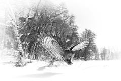 GGO BW (Vessikuvaa) Tags: white black nature artistic greatgreyowl mustavalko strixnebulosa canon1022mm explored lapinpll canon7d