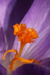 Stigma (gripspix (OFF)) Tags: plant flower nature purple natur pflanze crocus lila pollen blume stigma krokus narbe 20130322