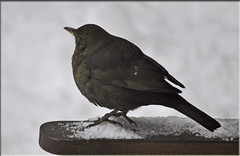 Female Blackbird (littlestschnauzer) Tags: light england brown white snow cold west bird nature weather birds female garden bench out march nikon village bright wildlife yorkshire sunday north feathers deep freezing local sat snowfall 24th blackbird huddersfield snowed emley 2013 fluffed my d5000 elementsorganizer11 2432013