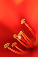 amaryllis|tentacles (StefleiFotografie) Tags: red flower macro nature blossom bokeh amaryllis pollen flickrchallengegroup flickrchallengewinner