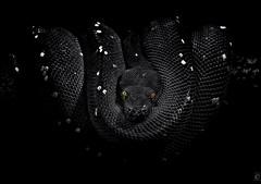 Lurking, Pt. 3 (B&W version) (chmeermann | www.chm-photography.com) Tags: portrait bw green blackwhite nikon snake portrt sw python nikkor schwarzweiss schlange constrictor greentreepython 70300 colorkeying selectivecoloring wrgeschlange d80 grnerbaumpython