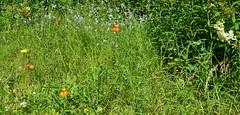 Kilmarnock-Irvine Cycle Path. Orange, Yellow, Blue & White. (Phineas Redux) Tags: ayrshirescenes kilmarnockirvinecyclepath cyclepaths wildflowers ayrshire scotland