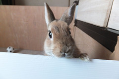 Ichigo san 250 ICHIGO san  (mensore) Tags: brown bunny cute family ichigo netherland dwarf netherlanddwarf pet rabbit