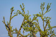IMG_0314.jpg (Paul Williams www.IronAmmonitePhotography.com) Tags: bird budgerigar summer murmuration dryseason melopsittacusundulatus australia