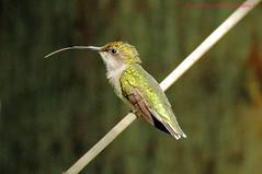 Hummingbird (rumerbob) Tags: hummingbird femalehummingbird bird birdwatching birdwatcher nature wildlife wildlifephotographer peacevalleypark lakegalena canon7dmarkii canon100400mmlens