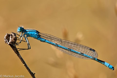 Male Common Blue Damselfly (markus.jacobs1899) Tags: insekten makro motiv natur tiere wildtiere nikon d700 macro closeup damselfly insect odonata becherjungfer nature
