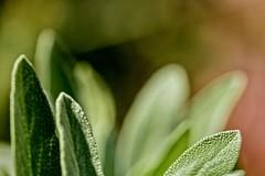 Sage Advice (brev99) Tags: sage herb bokeh outoffocus topazdenoise nikviveza perfecteffects10 ononesoftware plant garden green leaves closeup d7100 tamron18035