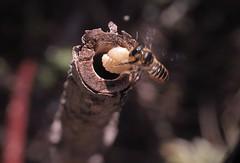 5/7 Supersedure - M.centuncularis (el.gritche) Tags: hymenoptera france 40 garden megachilidae megachile centuncularis female nest hoplitistridentata supersedure behavior larva hoplitis