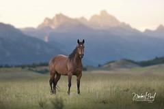 (facebook.com/michaelpaulphotoworks) Tags: horse horses horsebackriding wyoming jacksonwyoming grandtetonnationalpark tetonnationalpark mountains equine evening sunset nikon field ranching ranch country americanwest