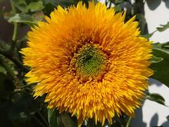 Sunflower (Gartenzauber) Tags: sonnenblume natur gelb sony neustadtinholstein schlewigholstein unsernorden garten ngc