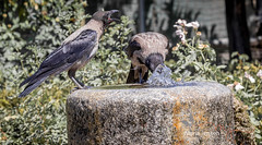 It's my turn to take a drink! (mariajensenphotography) Tags: birds nature water animals italy rome travel tourist fountain colisseum