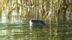 Fishing in the margins... (Cosper Wosper) Tags: otter westhay fishing somerset levels lutralutra