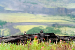 Chipmunk in the rain at Mount St. Helens (Emily Kistler) Tags: d750 mountain np nationalpark nature nikon outdoors pacificnorthwest parkmountsthelens vacation volcano washington chipmunk wildlife bokeh travel usa unitedstates america raining