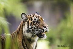 Sumatran Tiger (lindabosmuis) Tags: canon 6d 100400mm arnhem netherlands dierentuin burgers zoo tiger tijger roofdier predator portret portrait