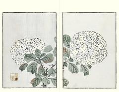 Bigleaf hydrangea (Japanese Flower and Bird Art) Tags: flower bigleaf hydrangea macrophylla hydrangeaceae buncho tani nanga woodblock picture book japan japanese art readercollection