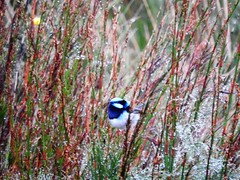 Superb Fairy Wren at Dundas Tasmania