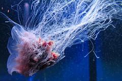 IMG_0600-2-2 (tlowphotography) Tags: aquarium jellyfish octopus moonjelly moon jelly moonjellyfish anemone mystic fish parrotfish