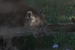 039_Great Cats Park_Cougar (steveAK) Tags: greatcatsworldpark cougar mountainlion