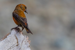 Male Red Crossbill (Loxia curvirostra) - North Vancouver, BC (bcbirdergirl) Tags: northvancouver bc redcrossbills maplewoodflats male loxiacurvirostra finch passerine beach