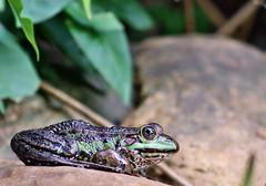 Froschen (mezindeluxe) Tags: frosch walimex 500 zwischenringe manuell canon 700d