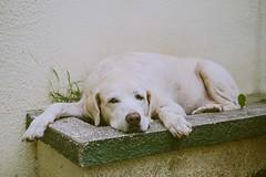 "Old Labrador Retriever ""Buddy""  (MissingBeagle) Tags: fujifilm xt10 xf 35mm f14 r  labrador retriever"