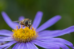 Hoverfly and Pollen (Pittypomm) Tags: fly friday insect animal flower pollen purple yellow