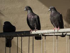 Light and shadow (schauplatz) Tags: vögel taube dove pigeon sun shadow schatten sonne kontrast contrast