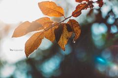 plum tree rain (The Gaggle Photography | Jessica Nelson) Tags: helios freelensed freelensing rain heliosfreelensed flare jessicanelson gagglephotography plumtree