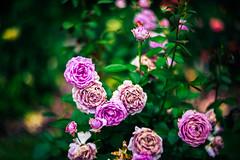Bending space with Helios (Arutemu) Tags: rose roses flower flowers manualfocus manual helios helios402 helios85mm f15 bokeh bokehville blur dof nature park light vintage lens ヘリオス レンズ ボケ ぼけ 暈け ばら バラ 薔薇 華 花 自然