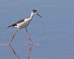 Black-necked Stilt (Keith Carlson) Tags: blackneckedstilt himantopusmexicanus shorebirds