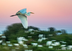 Speedy (DonMiller_ToGo) Tags: action wildlife venicerookery rookery nature onawalk birds movement birdwatching panning outdoors d5500 florida