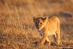 Lion cub portrait (Usha Harish) Tags: masaimara wildlife wildlifesafari wildlifephotography animals africa africansafari savannah africansavannah africageographic kenya travelkenya kenyasafari canon5dmarkiii canon500mmisii bigcat bigcats predator
