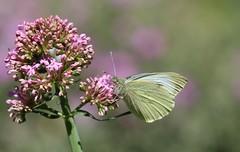 (! Nature Bx !) Tags: nature papillon img8118 pirideduchou pierisbrassicae insecte lepidoptera lpidoptres pieridae pierinae pieris