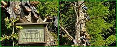 Der Baum des Jahres 2016 im Vogtland! (fleckchen) Tags: baum bume tree trees vogtland heimat natur kiefer nadelbaum stamm baumstamm schuhe wandern sachsen deutschland saxonia