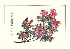 Satsuki azalea (Japanese Flower and Bird Art) Tags: flower satsuki azalea rhododendron indicum ericaceae shoseki kose nihonga woodblock picture book japan japanese art readercollection