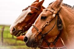 Charla de caballos (@Lizette Salazar Guedes) Tags: light horses luz canon landscape uruguay caballos photo foto farm campo cabaña durazno
