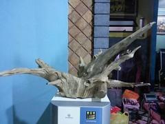 Agarwood decor root (Agarwood Gaharu Indonesia) Tags: indonesia sinking agar reri gaharu agarwood agarwoodoil agarwoodjakarta agarwoodindonesia agarwoodkalimantan agarwoodpapua gaharukalimantan gaharusuplier gaharujakarta