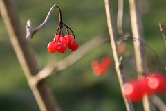 Winter fruit (siebensprung) Tags: autumn winter fruit berry berries herbst beeren beere viburnumopulus gemeinerschneeball mygearandme