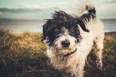 Newton (Roj) Tags: uk sea dog wales canon walking eos seaside hiking labradoodle canonef1740mmf4lusm newton aber 5dmkii