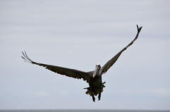 Galapagos - Floreana - Devils Crown - Pelican in Flight (3) (sweetpeapolly2012) Tags: