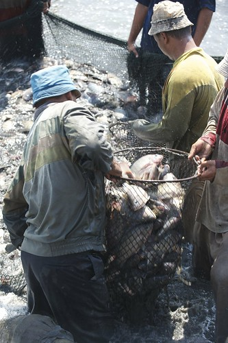 Harvesting tilapia in Nile Delta, Egypt. Photo by Patrick Dugan, 2008.