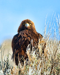 golden eagle (Pattys-photos) Tags: winter golden eagle idaho swanvalley