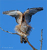 Balancing Act (Kevin B Photo) Tags: park morning trees winter wild sky usa motion color tree bird nature beautiful beauty birds closeup america outside outdoors photography one wings movement colorful day exterior unitedstates natural florida native action wildlife south wing peaceful calm southern wetlands everglades perch vegetation daytime perched cypress fl marsh southeast wintertime winged avian wetland redshoulderedhawk refuge birdwatcher serenitynow kevinbarry wowiekazowie arthurrmarshallloxahatcheenationalwildliferefuge canon7d