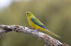 Orange-bellied Parrot (Neophema chrysogaster) (Gus McNab) Tags: parrot orangebellied neophema chrysogaster