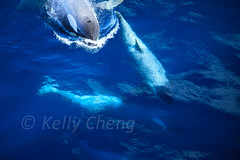 Antarctica-111123-595 (Kelly Cheng) Tags: travel blue sea color colour tourism nature water sunshine animals horizontal fauna landscape daylight colorful day vivid sunny antarctica whale orca colourful copyspace killerwhale seacape traveldestinations antarcticpeninsula