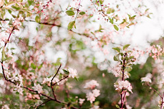Spring Smell (Lubko Davidovich) Tags: pink flowers red 2 tree green apple canon cherry 50mm spring soft mood blossom bokeh mark f14 14 smooth ii smell 5d mm 50 tender cherrytree appletree blooming canonef50mmf14usm canon5dmarkii