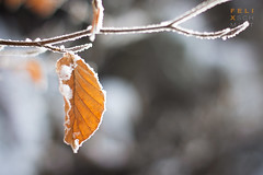Snowy Leaf (Felix Schmidt Photography) Tags: lighting winter light sun snow cold color detail tree nature beauty look composition contrast forest canon germany outdoors photography eos 50mm focus raw colours photographer dof angle bokeh outdoor details perspective dreams balance 18 exploration tones harz saxonyanhalt 60d
