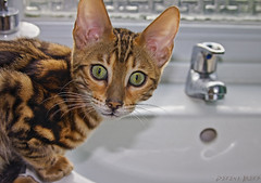 Green Eyed cat (derena_d. (Thanks for 1+ Million Views)) Tags: green cat kitten sink greeneyes curious tap curiosity bengal