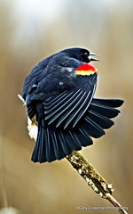 Blackbird Stretches (Gary Grossman) Tags: winter bird nature natural bokeh wildlife wing stretch marsh blackbird cattail wetland redwingedblackbird tailfeathers